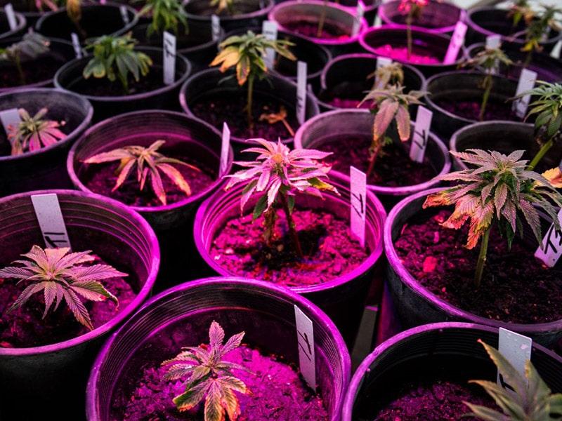 hemp plants in pots